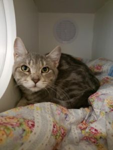 16 week old cat available for adoption at Northwest Campus Veterinary Science program