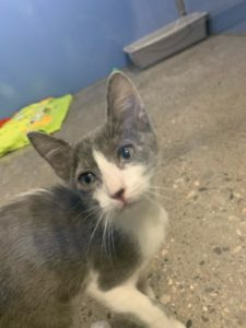 9 week old kitten available for adoption at Northwest Campus Veterinary Science program