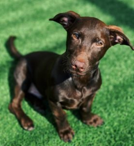 4 month old male Doxie puppy available for adoption at West-MEC Northwest Campus Veterinary Science Program