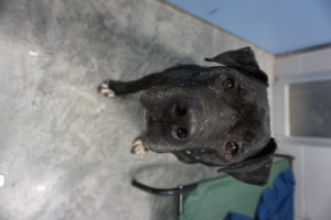 This is a photo of a black pitbull mix.