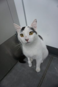 image of cat available for adoption - Jasper